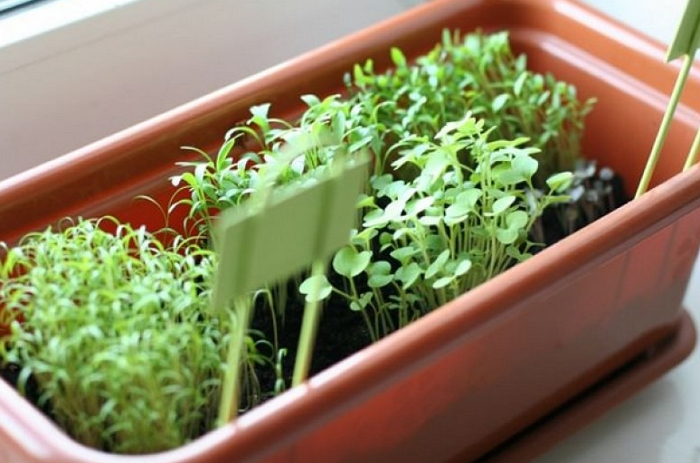 Неприхотливое растение руккола – секреты выращивания