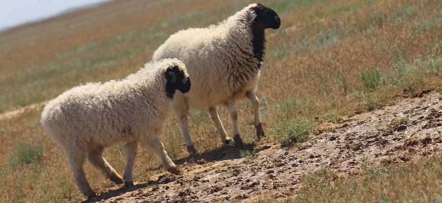 Калмыцкие овцы