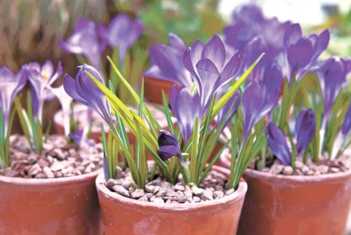 Крокус или шафран — предвестник весны