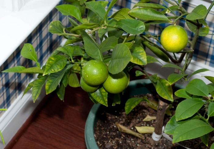 Как в домашних условиях вырастить лайм из косточки или черенка