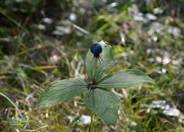 Вороний глаз — описание лечебных свойств ядовитого растения