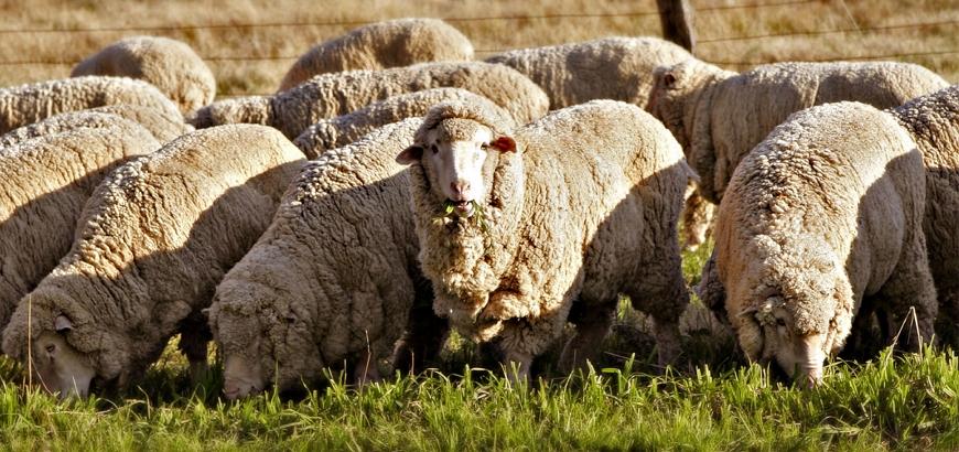 Стадо овец Меринос