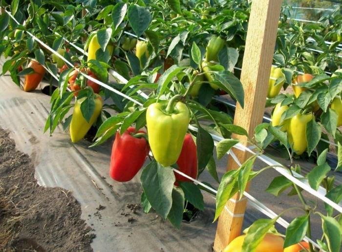 Перец Джипси (f1): описание сладкого гибрида и выращивание