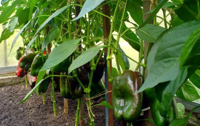 Перец Богатырь — особенности сорта, выращивание и уход