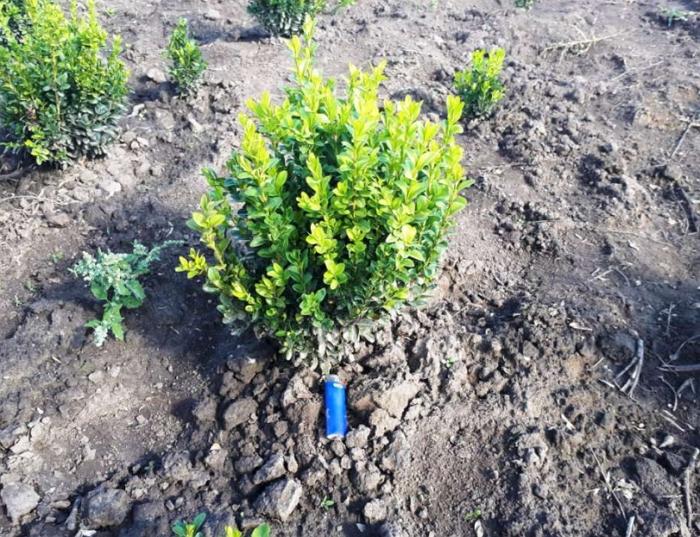 Секреты ухода и выращивания вечнозелёного самшита