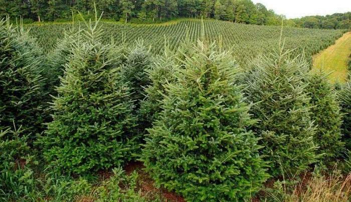 Хвойный-долгожитель: пихта кавказская (Фразера) выращивание и уход