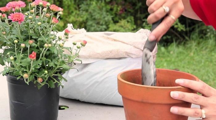 Выращивание хризантемы в горшке — что надо знать?