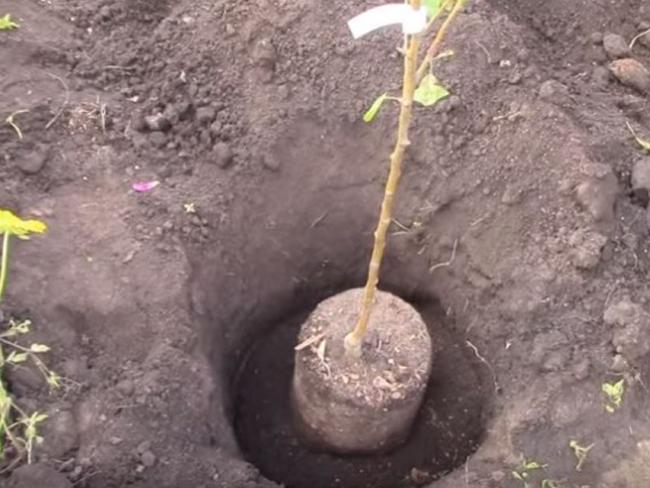 Величественный дуб: разновидности и особенности выращивания