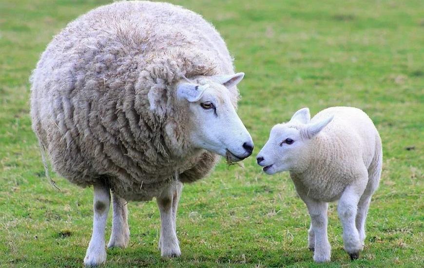 Овца меринос с ягненком