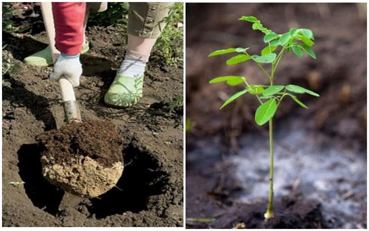 Робиния или лжеакация – выращивание, посадка, размножение и уход