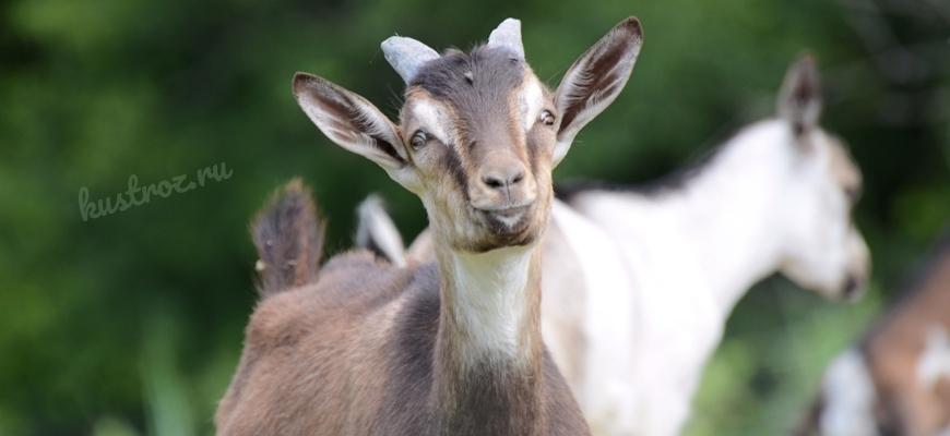 Французско-альпийская коза