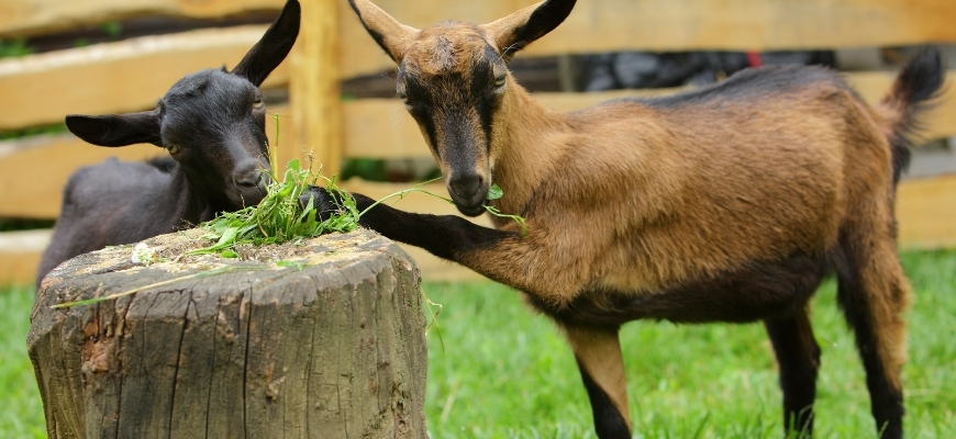 Альпийская порода коз – универсальные животные