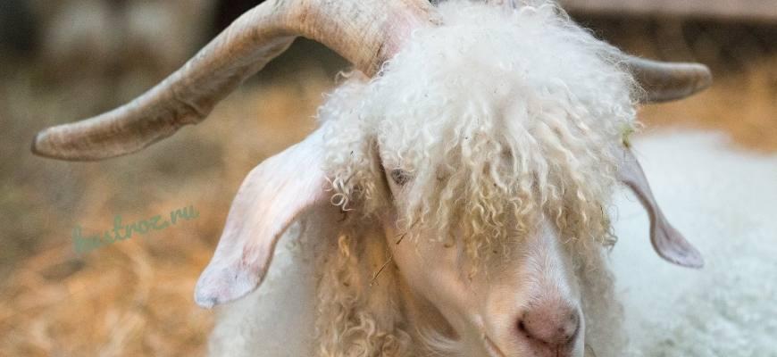 Ангорская порода коз – хороший выбор для фермеров