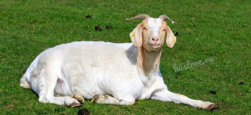 Бурская порода коз – чемпионы козьего семейства