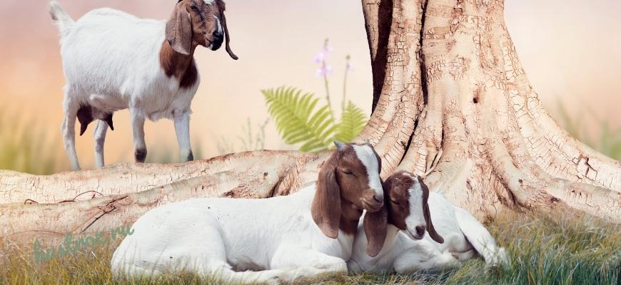 Мясные породы коз