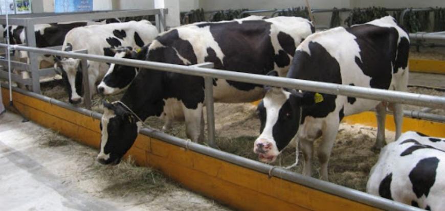 Черно-пёстрая корова – высокая молочная продуктивность