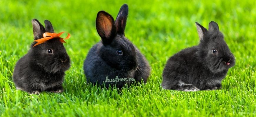 Черный кролик