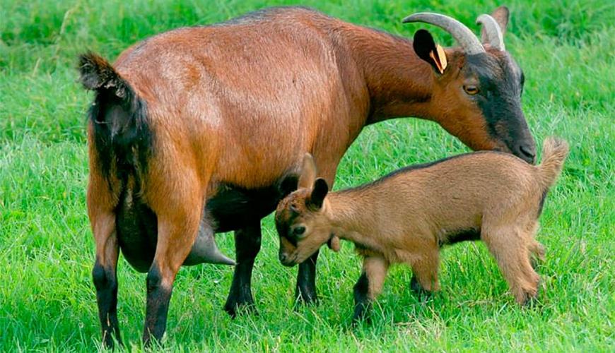 Чешская коза с козленком