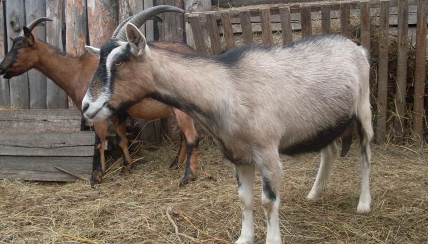 Чешская порода коз – «сиамские» красавицы