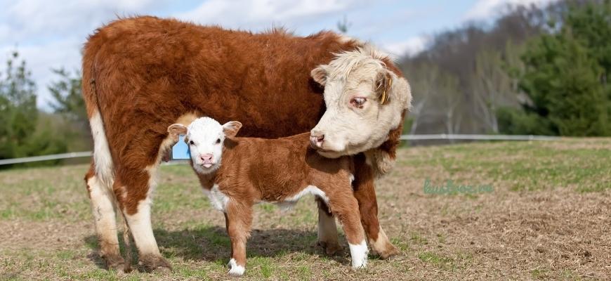 Герефордская корова – источник мраморной говядины