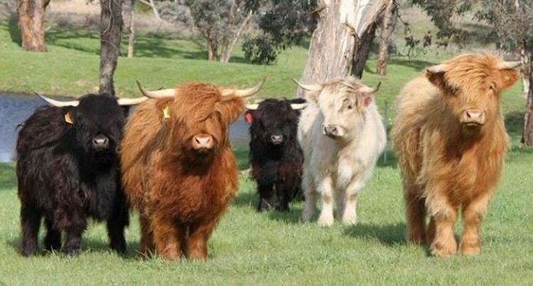 Хайленд – самая милая корова в мире!