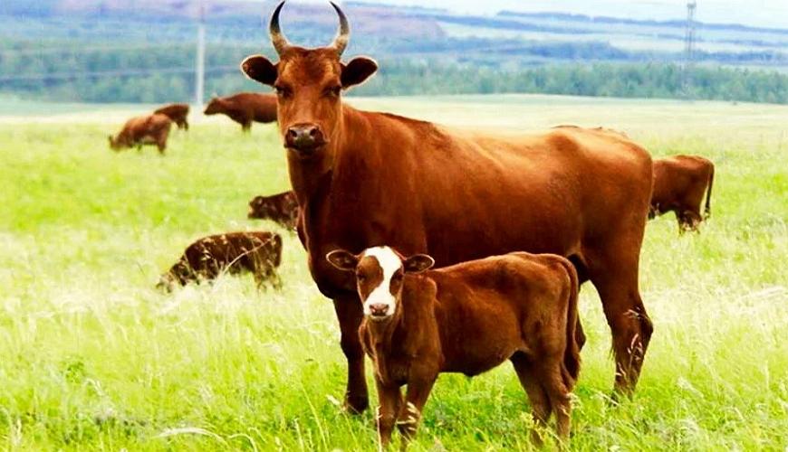 Калмыцкая корова с теленком
