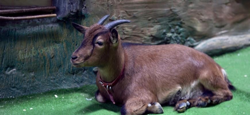 Камерунская порода коз – карликовые пигмеи Африки