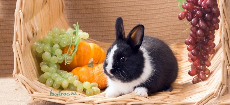 Нидерландский или Голландский кролик