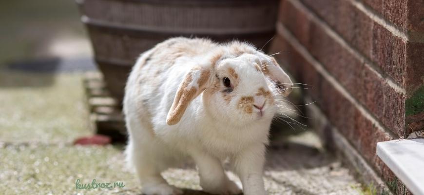 Кролик Баран вислоухий