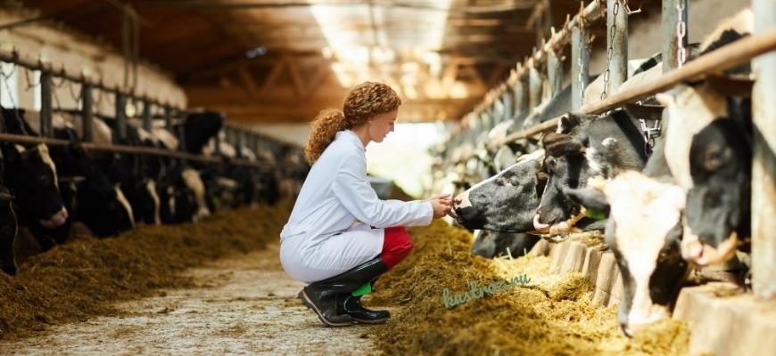 Как кормить корову – основы правильного питания КРС