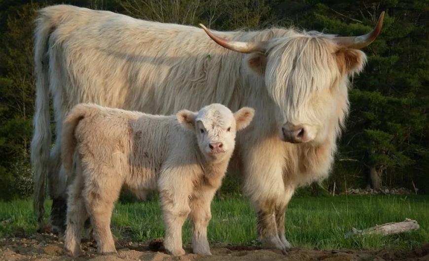 Миниатюрные коровы – очаровательные карликовые породы