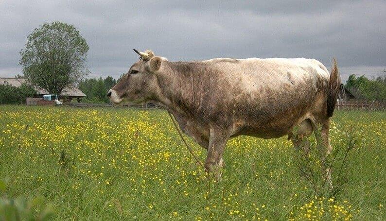 Костромская корова – идеальное сочетание молока и мяса