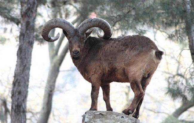 Кавказский горный козел