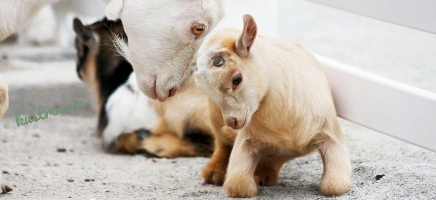 Кормление козлят козой