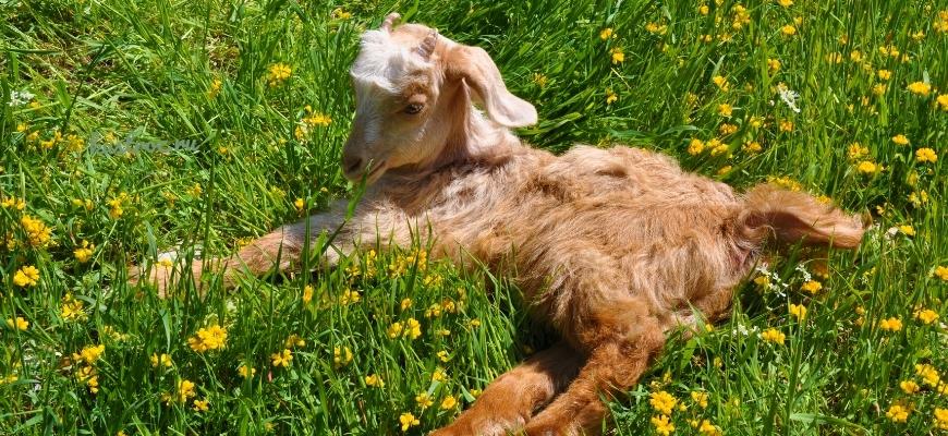 Кормление и содержание козлят