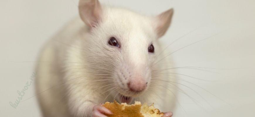 Крыса как домашний питомец