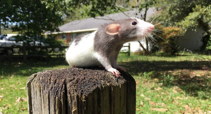 Виды декоративных крыс для дома