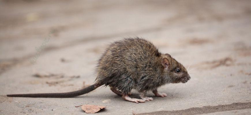 Средства от крыс в частном доме