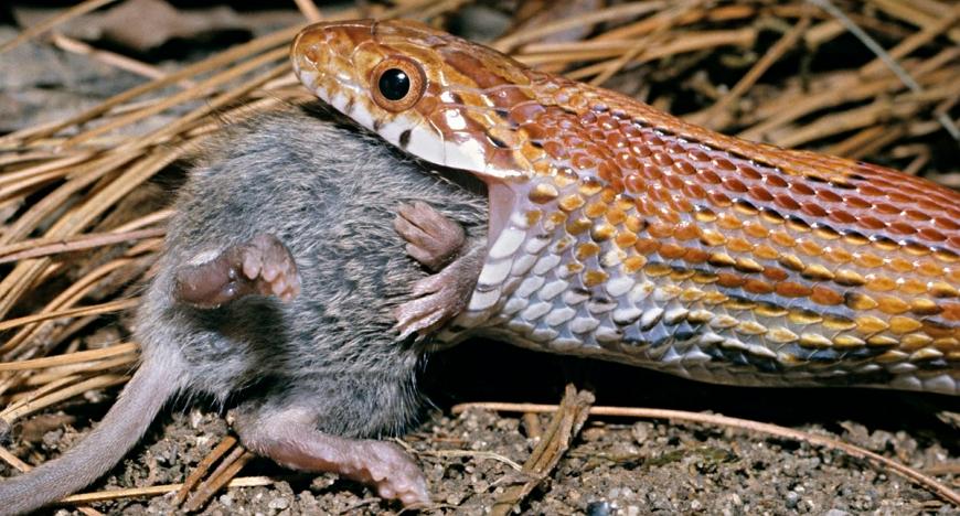 Змея ест крысу