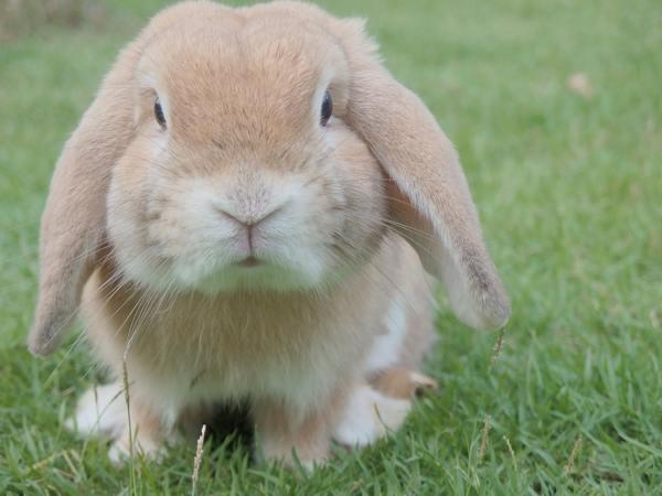 Самые большие породы кроликов