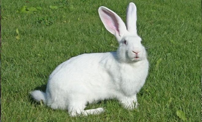 Самые мясные породы кроликов