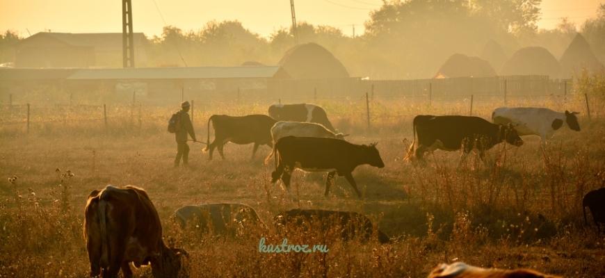 Основы ухода и содержания крупного рогатого скота
