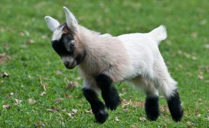 Только не пугайте! – обморочные козы