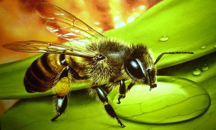 Виды пчел – какую породу лучше выбрать
