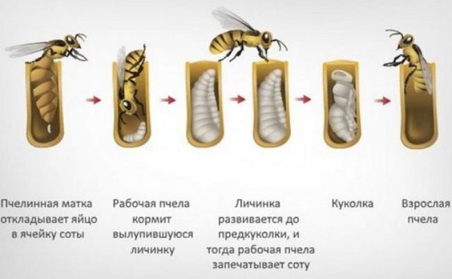 Размножение пчел