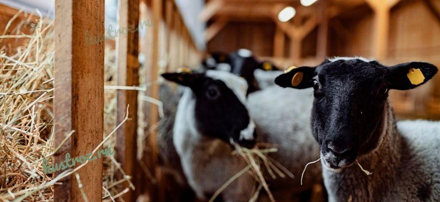 Романовская овца – лучшая российская порода