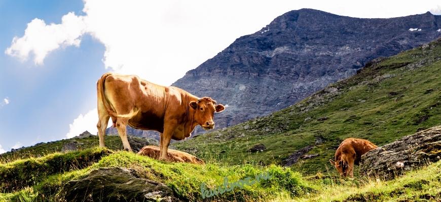 Швицкая корова – молочно-мясная буренка