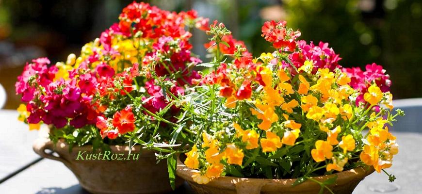 Цветок для начинающих – неприхотливая немезия