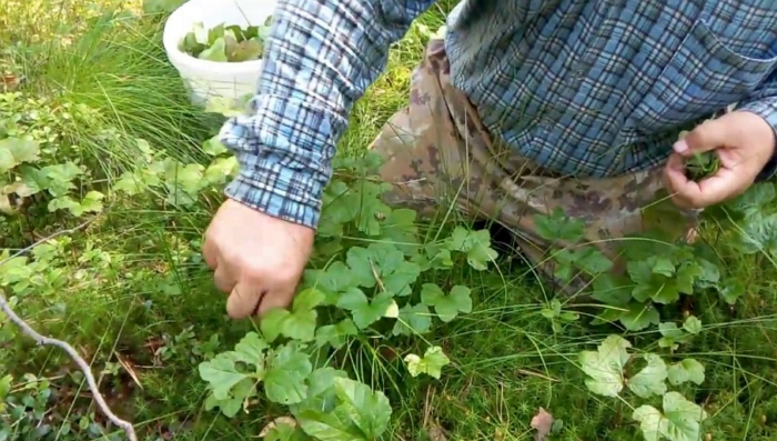 Морошка: кусочек леса в вашем саду. Посадка и уход за морошкой