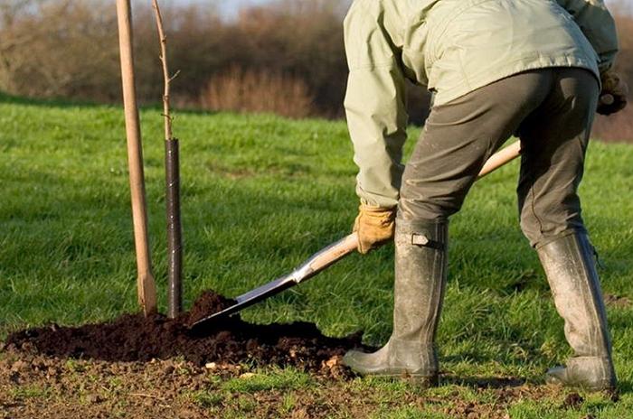 Посадка и выращивание груши: описание, виды и уход
